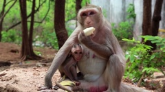 Rhesus macaque with a cub sits on the ground and eats banana Stock Footage