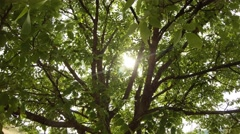 Sun shines through the dense foliage and branches of walnut wood Stock Footage