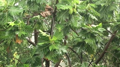 Breadfruit tree under pouring rain. Tropical downpour Stock Footage