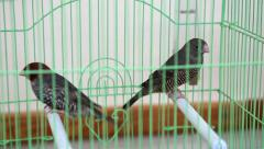 Red-headed finch (Amadina erythrocephala) in green cage Stock Footage
