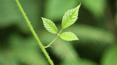 Three small green leaves of blackberry bush Stock Footage