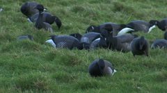 Large flock of birds Brent geese eating grass on winter grass field. Stock Footage