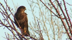 Bird common buzzard looking for a prey landed on a tree Stock Footage