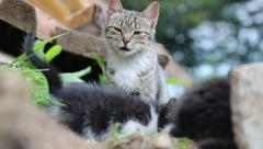 Grey cat sitting with their kittens - stock footage