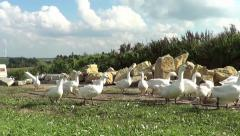 Geese running free outside Stock Footage