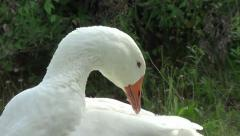 Goose outside cleaning her feathers Stock Footage