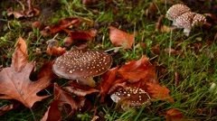 Amanita pantherina var. pantherina, also known as the panther cap Stock Footage
