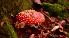Amanita muscaria, commonly known as the fly agaric or fly amanita Stock Footage