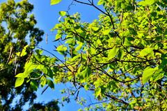 catalpa bignonioides. leaves and fruits closeup - stock photo