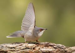 sardinian warbler - stock photo