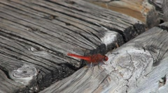 Red dragonfly 1.mp4 Stock Footage
