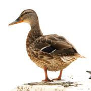 Female mallard duck ( anas platyrhynchos ) standing on a boat, isolation over Stock Photos