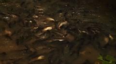 Nonthaburi Pier catfish, bangkok .mp4 Stock Footage