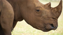Rhino wild animal mammel nature incredible species Stock Footage