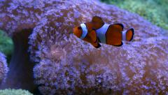 Clownfish swimming happily in anemone Stock Footage