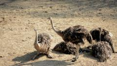 Group of female ostriches at a zoo Stock Footage