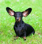 pedigree dachshund on the green grass - stock photo
