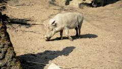 A Meerkat and a White Common Warthog in a Zoo Stock Footage