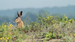 Hare sit and rest, very alert Stock Footage