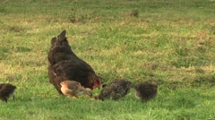 Hen with chicks searching for food Stock Footage