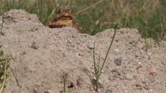 Common toad sitting and moving Stock Footage