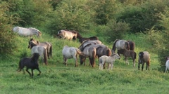 Herd of konik horses graze and move  in Dutch river landscape Stock Footage
