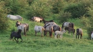 Stock Video Footage of Herd of konik horses graze and move  in Dutch river landscape