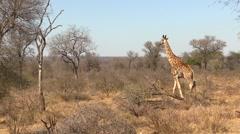 Giraffe Walking in the African Bush Stock Footage