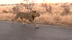 Male Lion Running on Road - stock footage