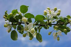 Young apple-tree - stock photo