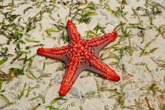 Red starfish - stock photo