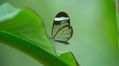 Butterfly glasswing wildlife nature environment plants Stock Footage