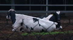 Holstein dairy cows eating hay in Tunghai University Stock Footage