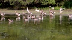 Wild goose swimming in the pond Stock Footage