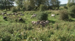 Fighting stallions in herd of konik horses. Stock Footage