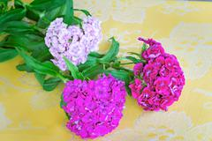 Beautiful bright pink flowers of a carnation. are presented by a close up on Stock Photos