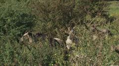 Fighting stallions in herd of konik horses between hawthorn bush Stock Footage