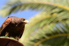 brown falcon - stock photo
