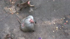 4k Baboons feeding by visitors in a rocky compound Stock Footage