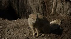 Yellow Mongoose Stock Footage