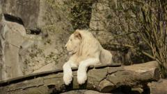 Young White Lion Stock Footage