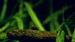 Water Snail (Sea snail) Stock Footage