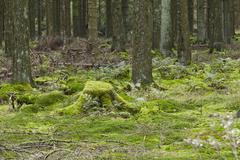 forest with moss-covered stub - stock photo