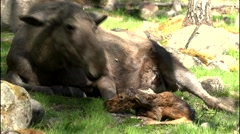 moose in sweden - absolutely rare - newborn moose calf! - stock footage
