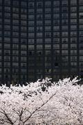 full blown korean cherry blossoms in seoul city - stock photo