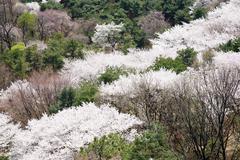 Full blown korean cherry blossoms in nam-mountain in seoul, korea Stock Photos