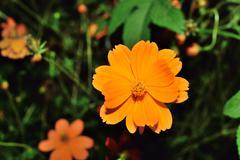 Closeup of orange color flower with flash light Stock Photos