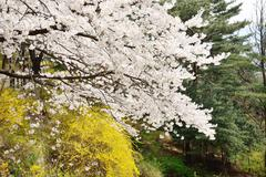 Banch of  korean cherry blossoms in full bloom Stock Photos
