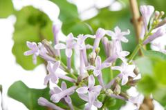Purple miss kim lilac flowers on a branch Stock Photos