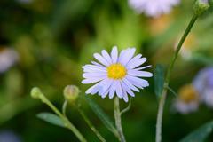 closeup of  korean starwort flower - stock photo
